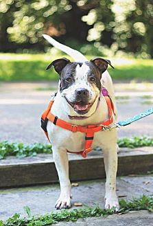 Pit Bull Terrier/Boxer Mix Dog for adoption in Berea, Ohio - Calli