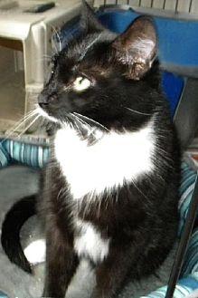 Domestic Shorthair Cat for adoption in Miami, Florida - Elsie