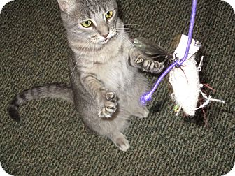 American Shorthair Cat for adoption in Sioux Falls, South Dakota - SORRY - THUNDER HAS BEEN ADOPTED!
