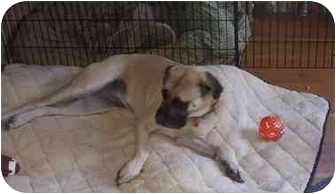 Mastiff Dog for adoption in Gig Harbor, Washington - Birdie