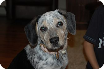 Australian Shepherd/Beagle Mix Puppy for adoption in Minot, North Dakota - Skyla