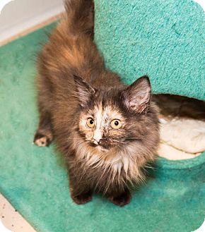 Domestic Longhair Kitten for adoption in Seville, Ohio - Puffy