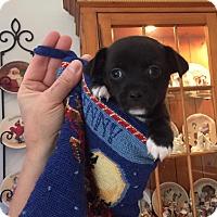 Adopt A Pet :: Hondo - Scottsdale, AZ