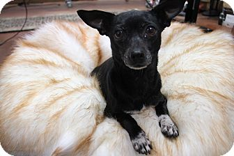 Chihuahua/Thai Ridgeback Mix Dog for adoption in Fort Atkinson, Wisconsin - Meredith