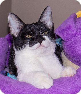 Domestic Shorthair Kitten for adoption in Elmwood Park, New Jersey - Baxlee