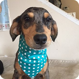 Hound (Unknown Type)/Dachshund Mix Puppy for adoption in East Hartford, Connecticut - Remi pending adoption
