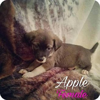 Australian Shepherd Mix Puppy for adoption in Plainfield, Illinois - Apple