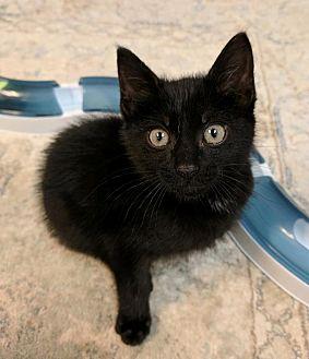 Domestic Shorthair Kitten for adoption in Austintown, Ohio - Batman