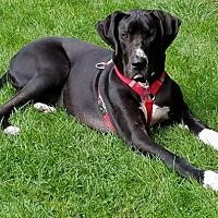 Adopt A Pet :: Meredith - Buffalo, NY