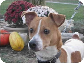 Jack Russell Terrier Mix Dog for adoption in Troy, Ohio - Jackson