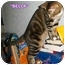 Photo 3 - Domestic Shorthair Cat for adoption in Cedar Creek, Texas - Bella