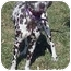 Photo 3 - Dalmatian Dog for adoption in Mandeville Canyon, California - Lucy 4