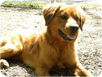 Golden Retriever Mix Dog for adoption in FOSTER, Rhode Island - Tawney