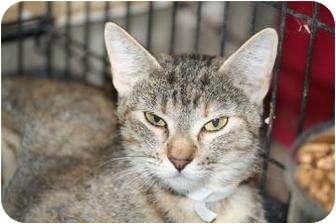 Domestic Shorthair Cat for adoption in Tucson, Arizona - Sally