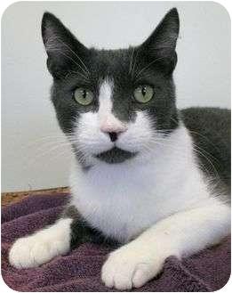 Domestic Shorthair Cat for adoption in Phoenix, Oregon - Mr. Nice Guy