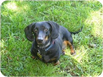 Dachshund Dog for adoption in San Jose, California - Rocco