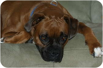 Boxer Dog for adoption in Plainfield, Illinois - Riley
