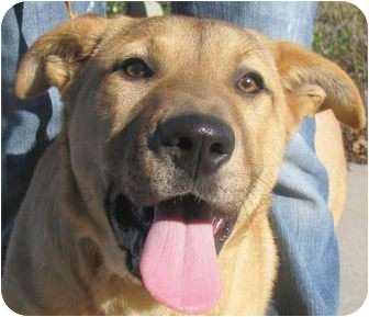 Labrador Retriever/Black Mouth Cur Mix Puppy for adoption in Chapel Hill, North Carolina - Plinko