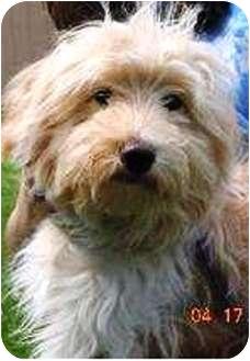 Poodle (Miniature)/Schnauzer (Standard) Mix Puppy for adoption in Oswego, Illinois - Arthur