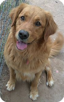 Golden Retriever Mix Dog for adoption in High View, West Virginia - Biscuit