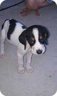 Hound (Unknown Type)/Catahoula Leopard Dog Mix Puppy for adoption in Hammonton, New Jersey - Mcruff