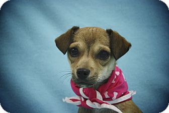 Chihuahua/Terrier (Unknown Type, Small) Mix Puppy for adoption in Broomfield, Colorado - Gingerbread