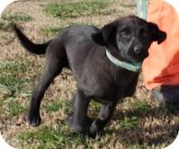 Labrador Retriever/Border Collie Mix Puppy for adoption in Hagerstown, Maryland - Sugar Pie
