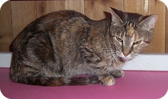 Domestic Shorthair Cat for adoption in Witter, Arkansas - LIZZY  Psycho cat from Hell