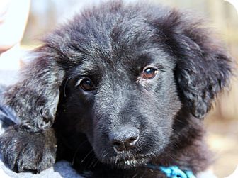 Golden Retriever/Newfoundland Mix Puppy for adoption in Chicago, Illinois - Clementine