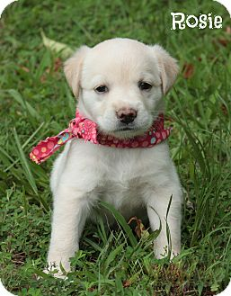Labrador Retriever Mix Puppy for adoption in Glastonbury, Connecticut - Rosie