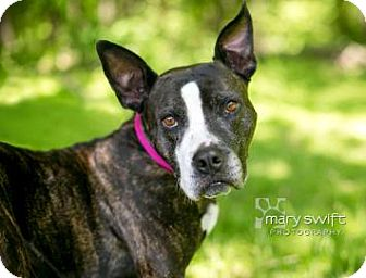 American Pit Bull Terrier Mix Dog for adoption in Reisterstown, Maryland - Dixie