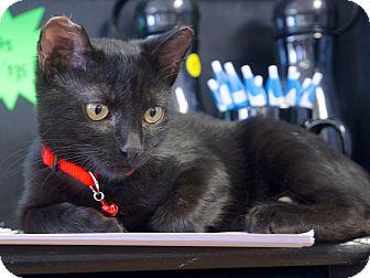 Domestic Shorthair Cat for adoption in Homewood, Alabama - Mia