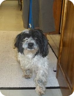 Shih Tzu Mix Dog for adoption in Silver City, New Mexico - Arden