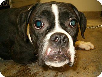 Boxer Dog for adoption in Upper Sandusky, Ohio - Bonnie