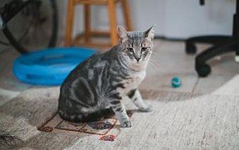 Domestic Shorthair/Domestic Shorthair Mix Cat for adoption in Wichita, Kansas - Matty