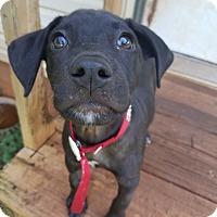 Adopt A Pet :: Zuri - Hagerstown, MD