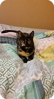 Domestic Shorthair Kitten for adoption in Columbus, Ohio - Harvey