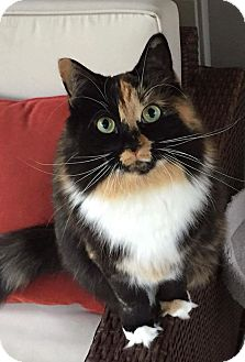 Calico Cat for adoption in Tega Cay, South Carolina - Zoe