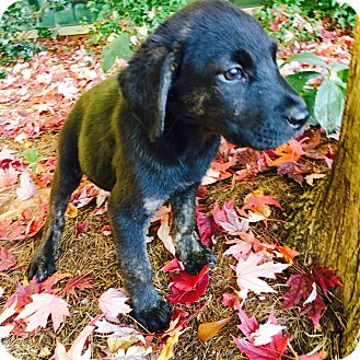 Labrador Retriever Mix Puppy for adoption in Cumming, Georgia - Willow-Nature Pup