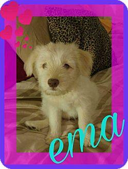 Collie/Corgi Mix Puppy for adoption in Cincinnati, Ohio - Ema