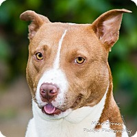 American Staffordshire Terrier Dog for adoption in Westminster, California - Vizzini