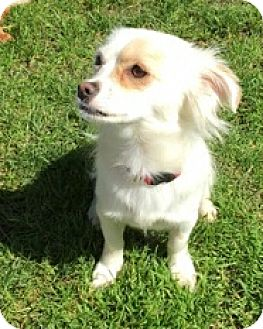 Chihuahua/Terrier (Unknown Type, Small) Mix Dog for adoption in Eugene, Oregon - Ginger2