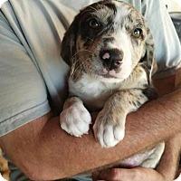 Adopt A Pet :: Sprinkles - Plano, TX