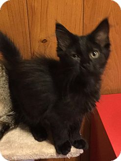 Maine Coon Kitten for adoption in Chattanooga, Tennessee - Sally