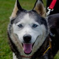 Adopt A Pet :: Siri - Greenwood, SC