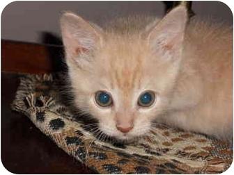Domestic Shorthair Kitten for adoption in Okotoks, Alberta - Bandit