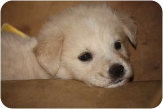Golden Retriever/German Shepherd Dog Mix Puppy for adoption in Prince William County, Virginia - mich