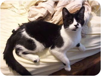 Domestic Shorthair Cat for adoption in Oak Lawn, Illinois - Dexter