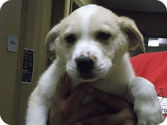 Retriever (Unknown Type)/Shepherd (Unknown Type) Mix Puppy for adoption in Brookings, South Dakota - Gus