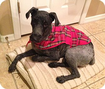 Kerry Blue Terrier Mix Dog for adoption in Las Vegas, Nevada - Brams
